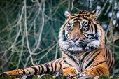 stock photo of west midlands  - Tiger  at West midlands safari park in the uk - JPG