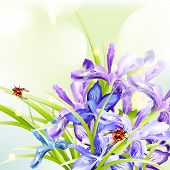foto of purple iris  - Background with blue and purple irises for design - JPG