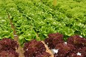 image of hydroponics  - Hydroponic lettuce in greenhouse - JPG