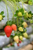 picture of gents  - Strawberry growth in the strawberry farm in Genting Malaysia - JPG