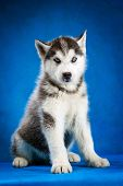 stock photo of puppy eyes  - siberian husky puppy  with blue eyes sitting on blue background - JPG