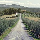 image of farmhouse  - Olive Alley Leading to the Farmhouse in Italy Vintage Style Toned Picture - JPG