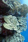 pic of fire coral  - coral reef with hard corals at the bottom of tropical sea  - JPG