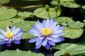 stock photo of water lily  - Australian water lily - JPG