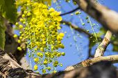 picture of cassia  - Golden Shower flowers or Cassia fistula in science name are bloomed in summer all over Thailand  - JPG