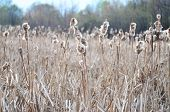 picture of siberia  - reeds in the autumn on the lake in Siberia  - JPG