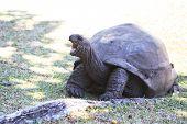 pic of tortoise  - Aldabra giant tortoise yawns - JPG
