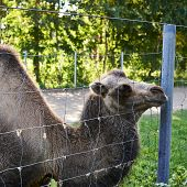 stock photo of hump  - Bactrian camel behind the wire fence - JPG