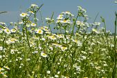 stock photo of windy  - Flowering of Eastern daisy fleabane plants in summer windy weather or Phalacroloma annuum is a synonym of Erigeron annuus - JPG