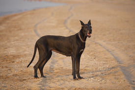 stock photo of great dane  - black dog with collar on the beach - JPG