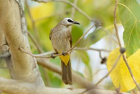 picture of bulbul  - beautiful yellow - JPG