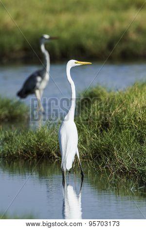 Great Egret in a swamp at Pottuvil, Sri Lanka