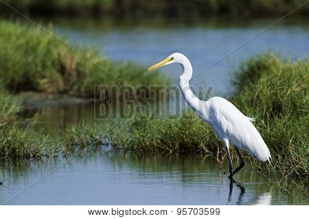 Great Egret In Potuvil, Sri Lanka.