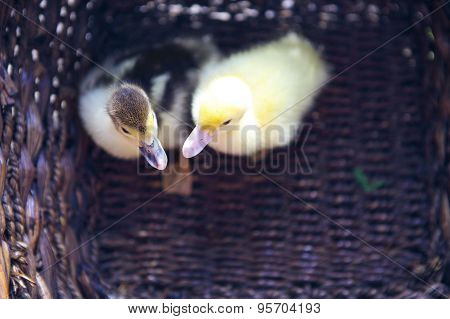 Two Yellow Duckling Outdoors In The Basket