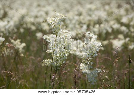 White Flowers On To The Meadow