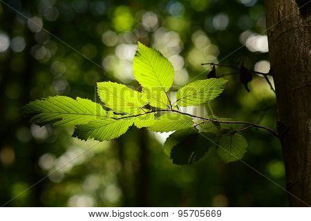 Summer Leaves In Back Light