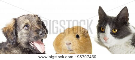 Cat And Dog And Guinea Pig