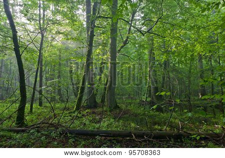 Old Oak And Hornbeams In Natural Late Summer Deciduous Stand Of Bilowieza Forest