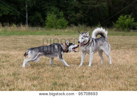 Puppy of Siberian Husky plays with adult Husky.