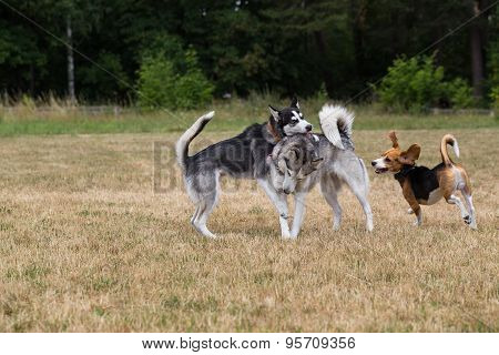 Two husky and beagle is playing in the meadow.