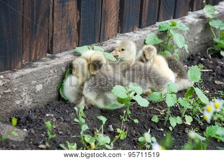Cute young Baby Geese in chamomile field.