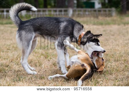 Siberian husky is playing with beagle.