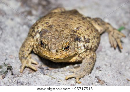 Common Toad On The Ground