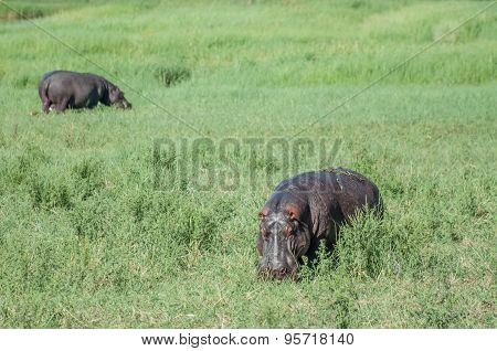 Hippopotimi In Green Field