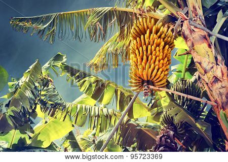 Bunch Of Ripe Bananas On Tree