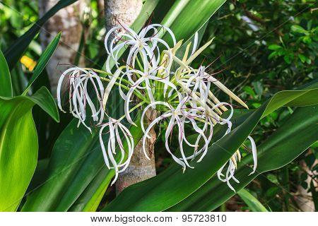 Crinum Lily Flower