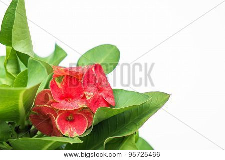 Euphorbia milii leaf and flower isolated on white background