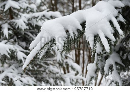 Branches Of Winter Spruce Tree