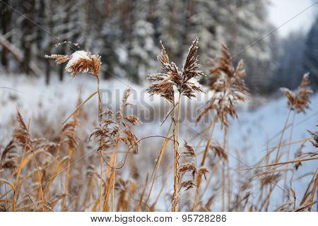 Reeds On Frozen Pond