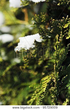 Snow On Evergreen Bush