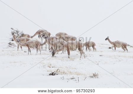 Guanacos in the Snow
