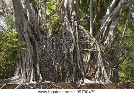 Ruins of houses twisted ficus roots on the Ross island