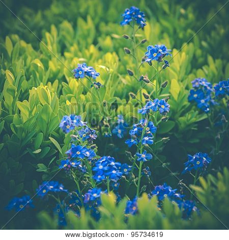 Forget-me-blue