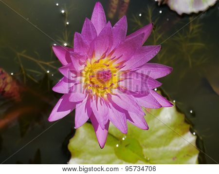 Pink lotus and yellow pollen so cute