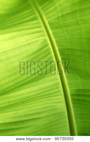 Closeup Of Banana Leaf