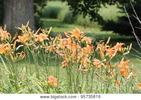 Daylily (Hemerocallis) Orange