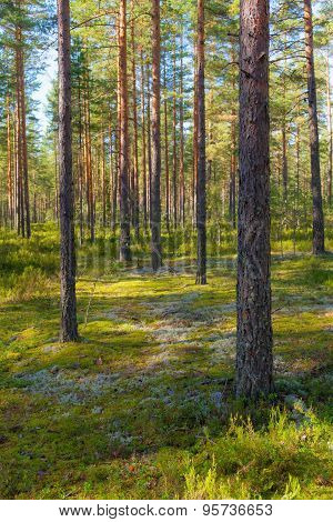 Sunny Pine Forest