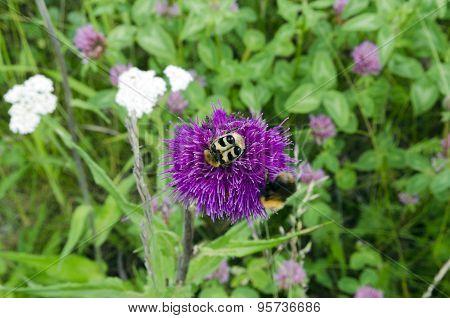 Bumblebee Beetle