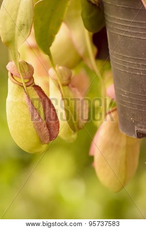Nepenthes or tropical pitcher plants or monkey cups is the magic plant.