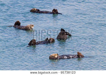 Sea Otters - Enhydra Lutris