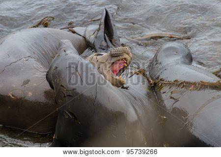Elephant Seal - (mirounga Angustirostris)