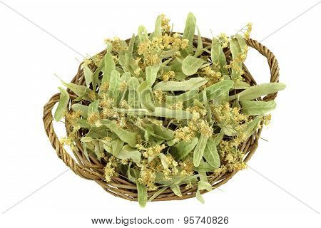 Eastern Europe Linden Tree Leafs Blossom And Fruits Isolated