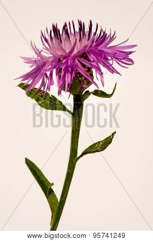 Violet Cornflower Flower On A White Background