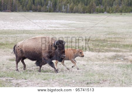 Mom and Calf Bison crossing field