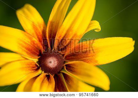 Blooming Rudbeckia (black-eyed Susan Flower)