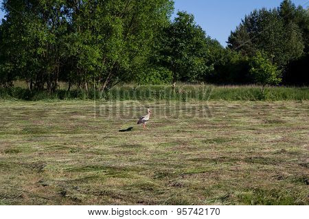 Stork on a meadow